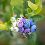 Blueberry Gradient