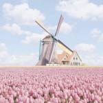 Beautiful tulip field in the Netherlands 🌷