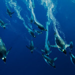 Emperor Penguins swimming in search of food