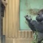Gorilla showing his banged up elbow to his favorite zoo keeper and then his mom