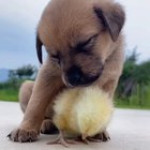 So hard babysitting the duckling 😴