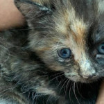 Toronto rallies to save tiny kitten who was born without a butthole