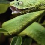Snake yawning