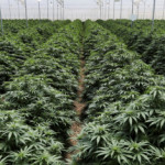 Colombia boosts budding cannabis industry by removing ban on dry flower exports