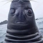 This is a seal spy hopping, but in this perspective it appears to be a strange creature