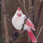 A white cardinal spotted in Ontario