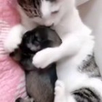 Mom always mom,A cat with cute Puppy