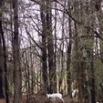 Most people never encounter an albino deer so I present to you two of them!