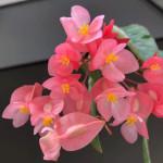 Begonia maculata in bloom 🥰🌸