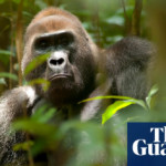 Great apes predicted to lose 90% of homelands in Africa, study finds
