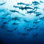 A massive school of Hammerhead Sharks moving as a pack