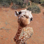Giraffe nailed the cutest pose 🦒😀🥰