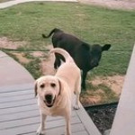 This Doggo trying to invite his cow friend