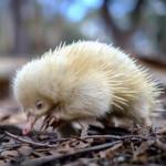 Albino echidna puggle ❤️
