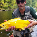 This golden trout