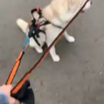 Husky is tired of waiting, throws a huge tantrum