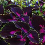 Stunning Coleus colours
