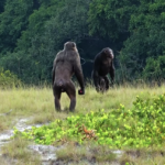 Scientists Witness Chimps Killing Gorillas for the First Time Ever. The surprising observation could yield new insights into early human evolution