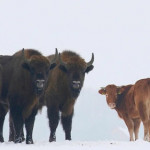 A cow escaped from a Polish farm and was spotted months later living with a herd of wild bison