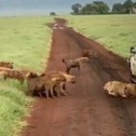 A pack of hyenas attack a female lion. Eventually. Maybe