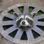 Firefighters Get Creative to Help Baby Raccoon With its Head Stuck in a Sewer Cover