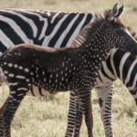 Some zebras are developing odd stripes, and humans could be to blame, says biologist