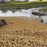 An army of ducks rushing to the water