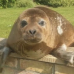 Pensioner finds 150lb seal sunning herself in her back garden – 20 miles from the nearest sea