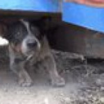 Rescuing a stray pup