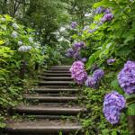 Hydrangea garden after the rain