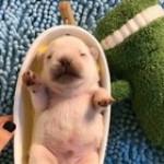 Sweet sleepy potato