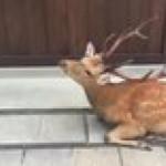 The deer of Nara, Japan are so polite