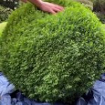 Topiary: the art or practice of clipping shrubs or trees into ornamental shapes