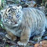 Angry chubby cub 🐯