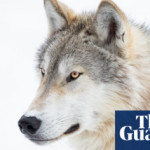'An abomination': the story of the massacre that killed 216 wolves