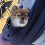 Cute puppy sleeps in the sling bag