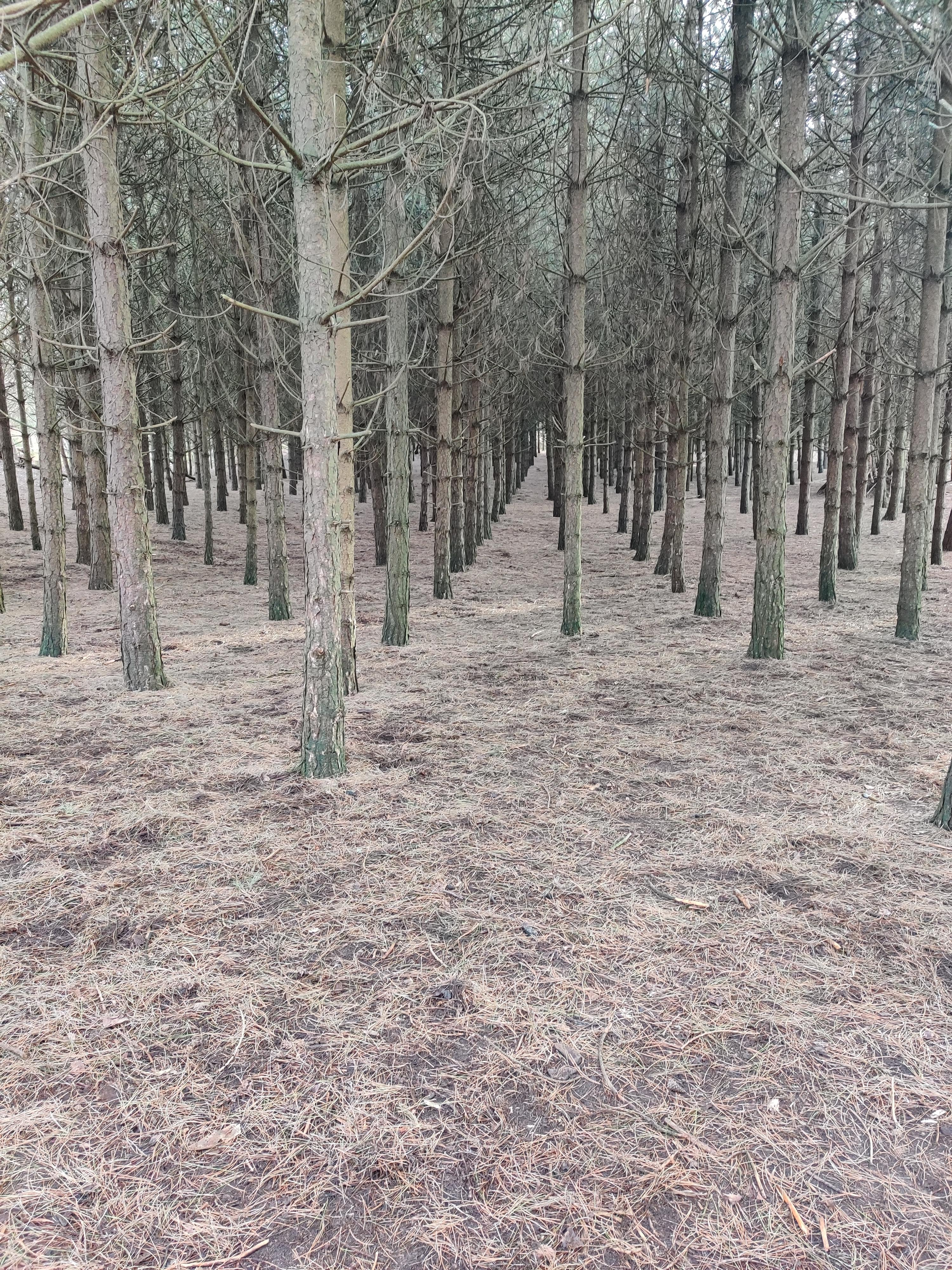 This perfectly straight managed forest. Ainsdale, UK