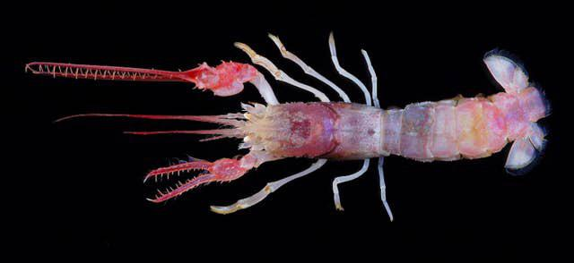 The terrible claw lobster is a deep sea crustacean