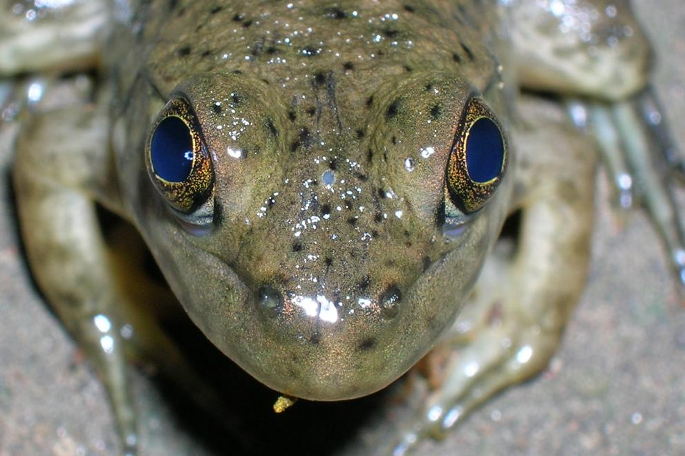 🔥 A parietal eye, also known as a third eye or pineal eye are present in some species of fish, amphibians and reptiles, as shown on this frog