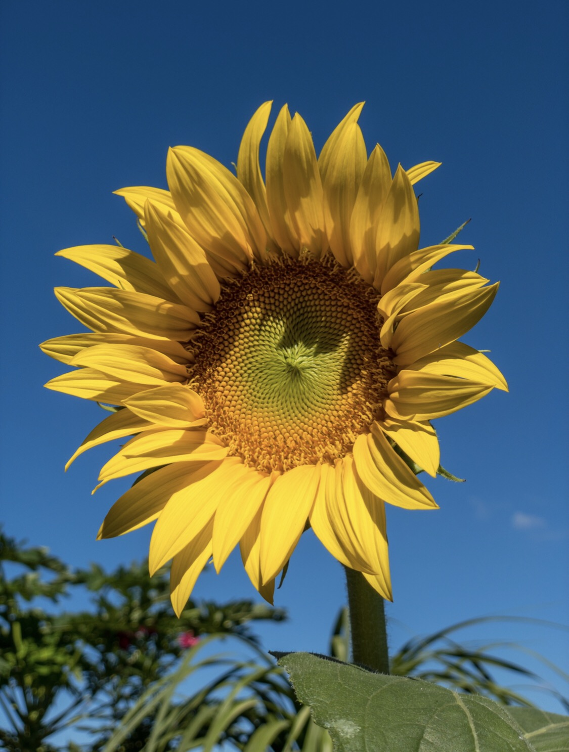 The beauty of a sunflower 🌻🌻🌻
