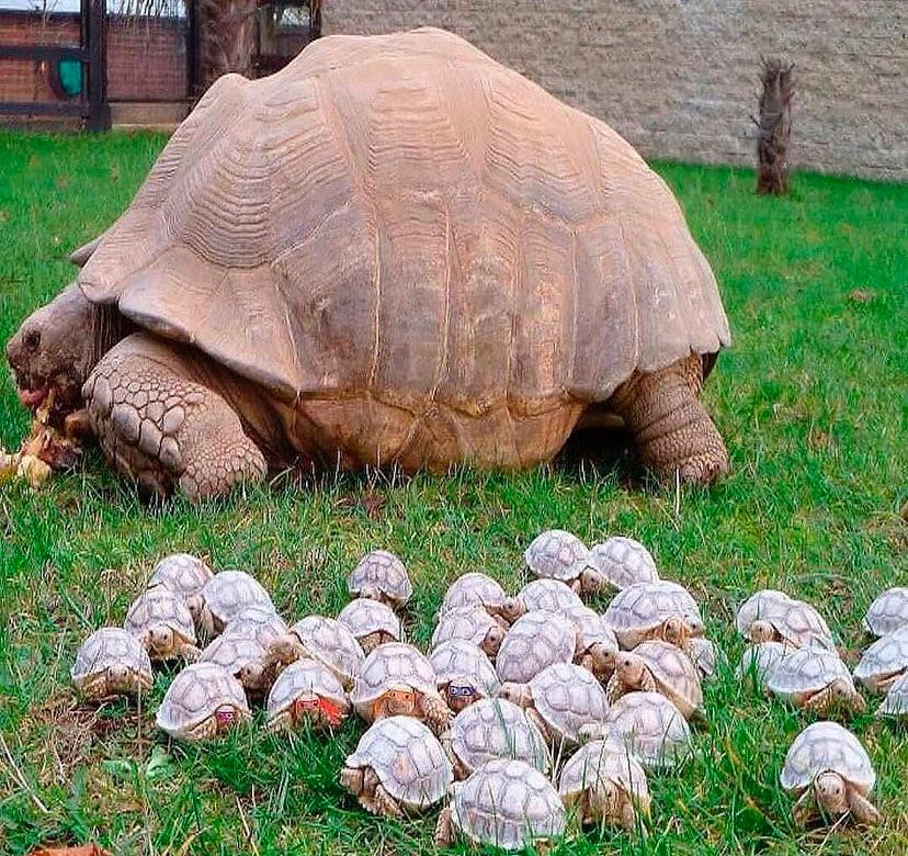 Giant tortoise and her babies 🐢