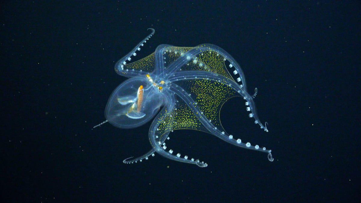 A deep sea octopus displaying its patterns. It is a translucent yet bioluminescent organism in the depths below