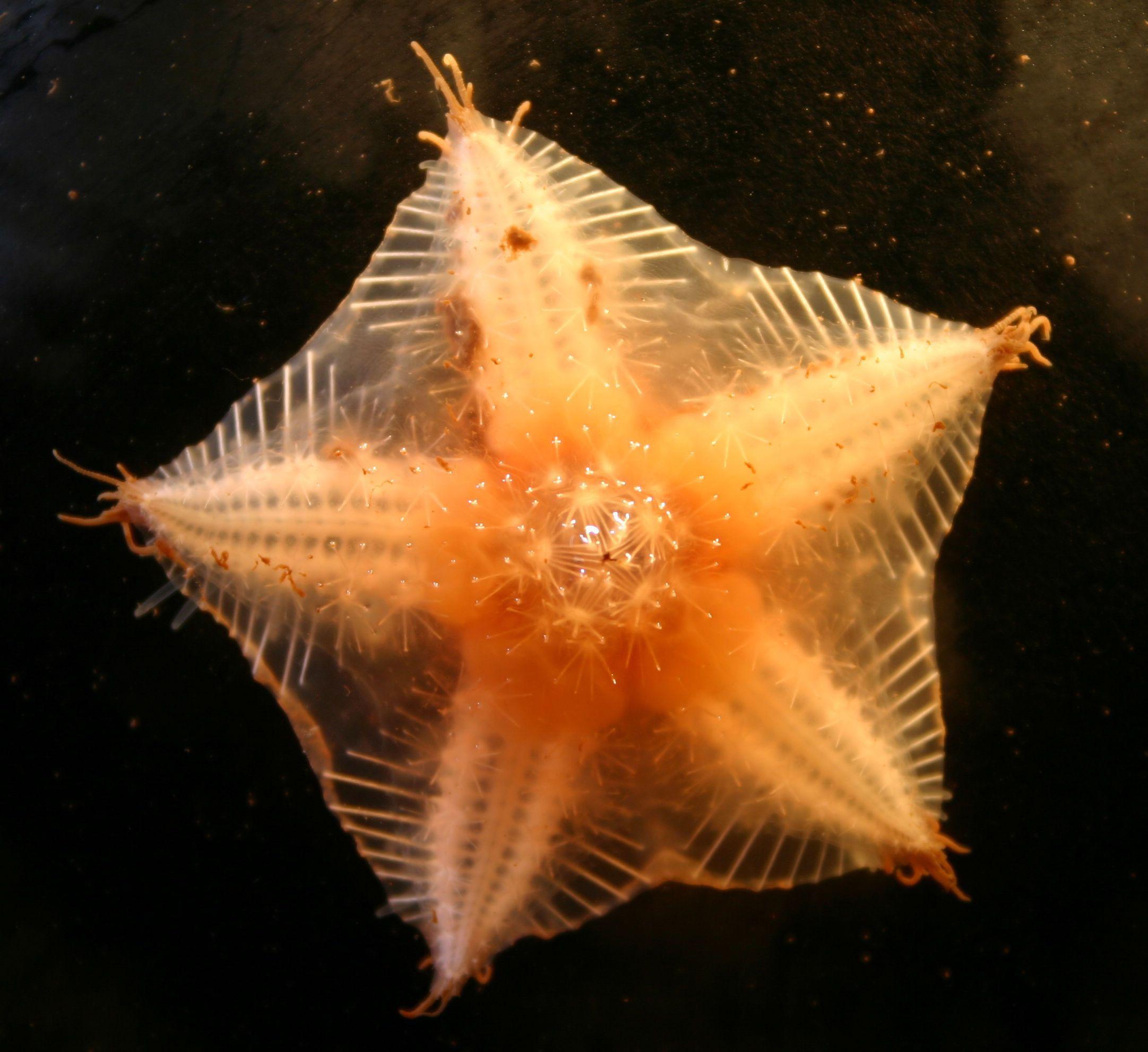 A sea star that's more like a sea pentagon