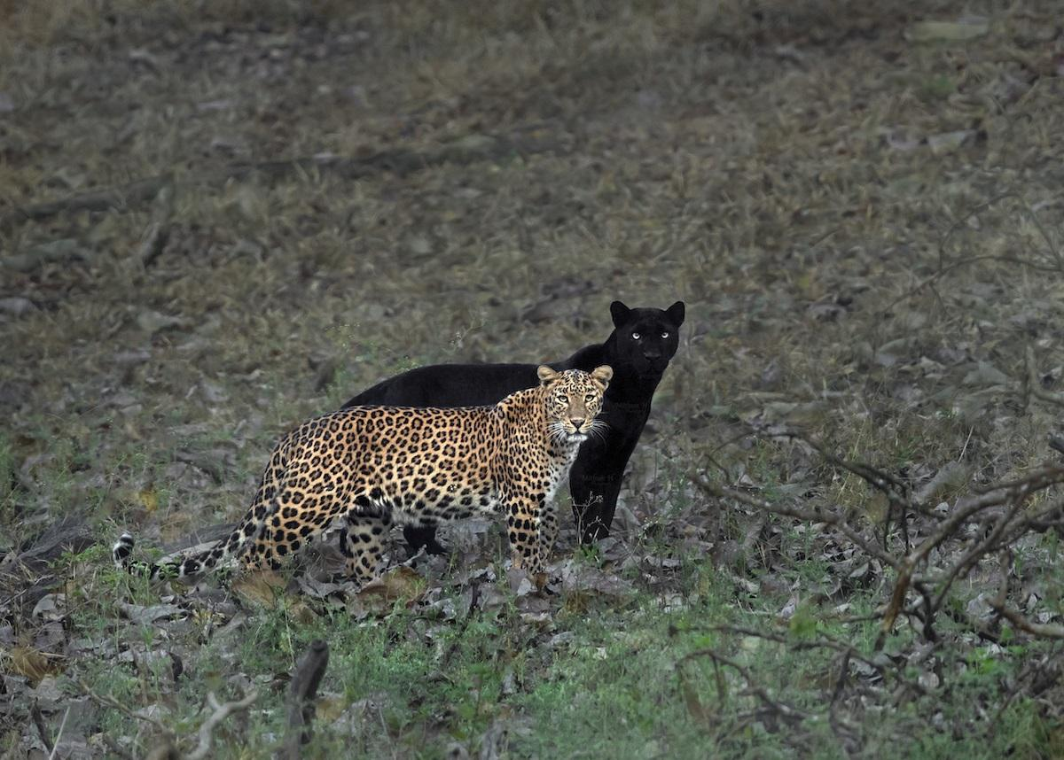 Couple of leopards