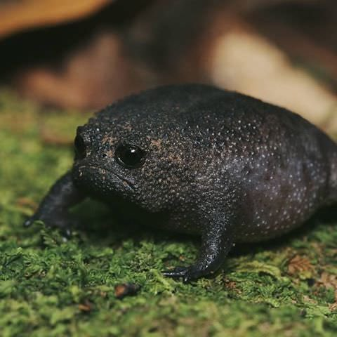 This is how a black rain frog looks