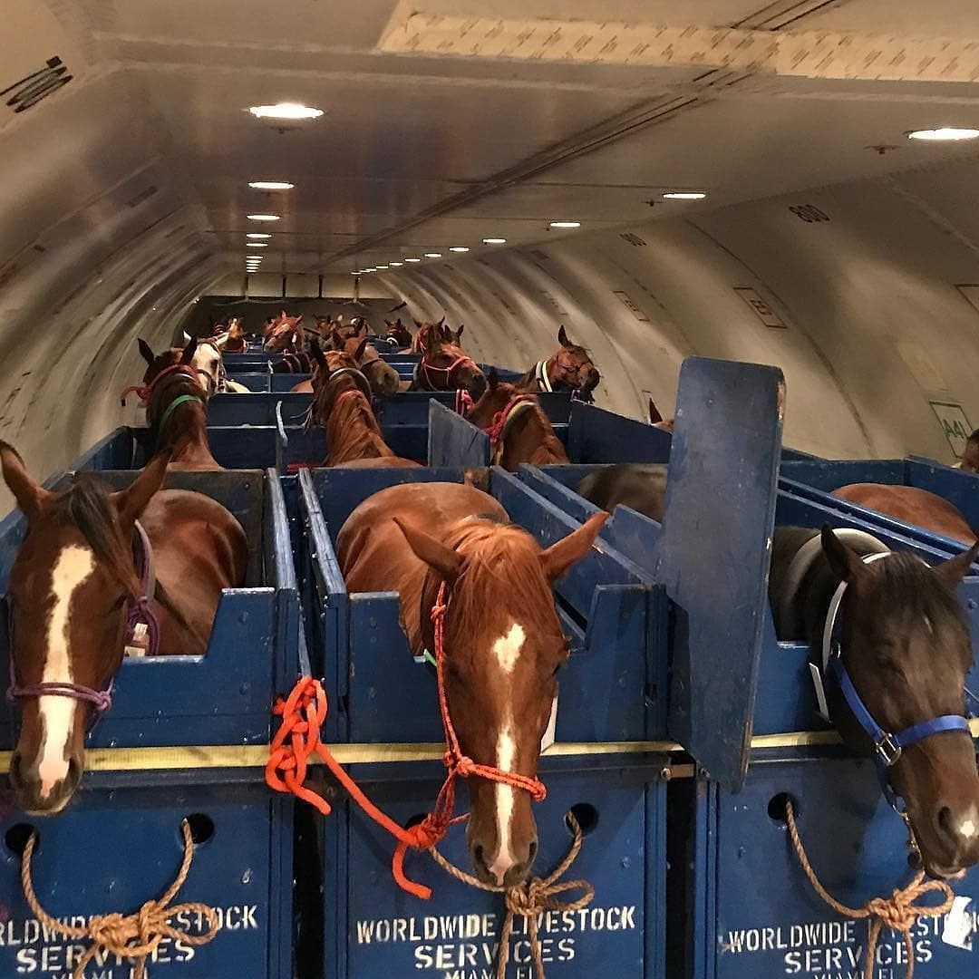 Horses on airplane