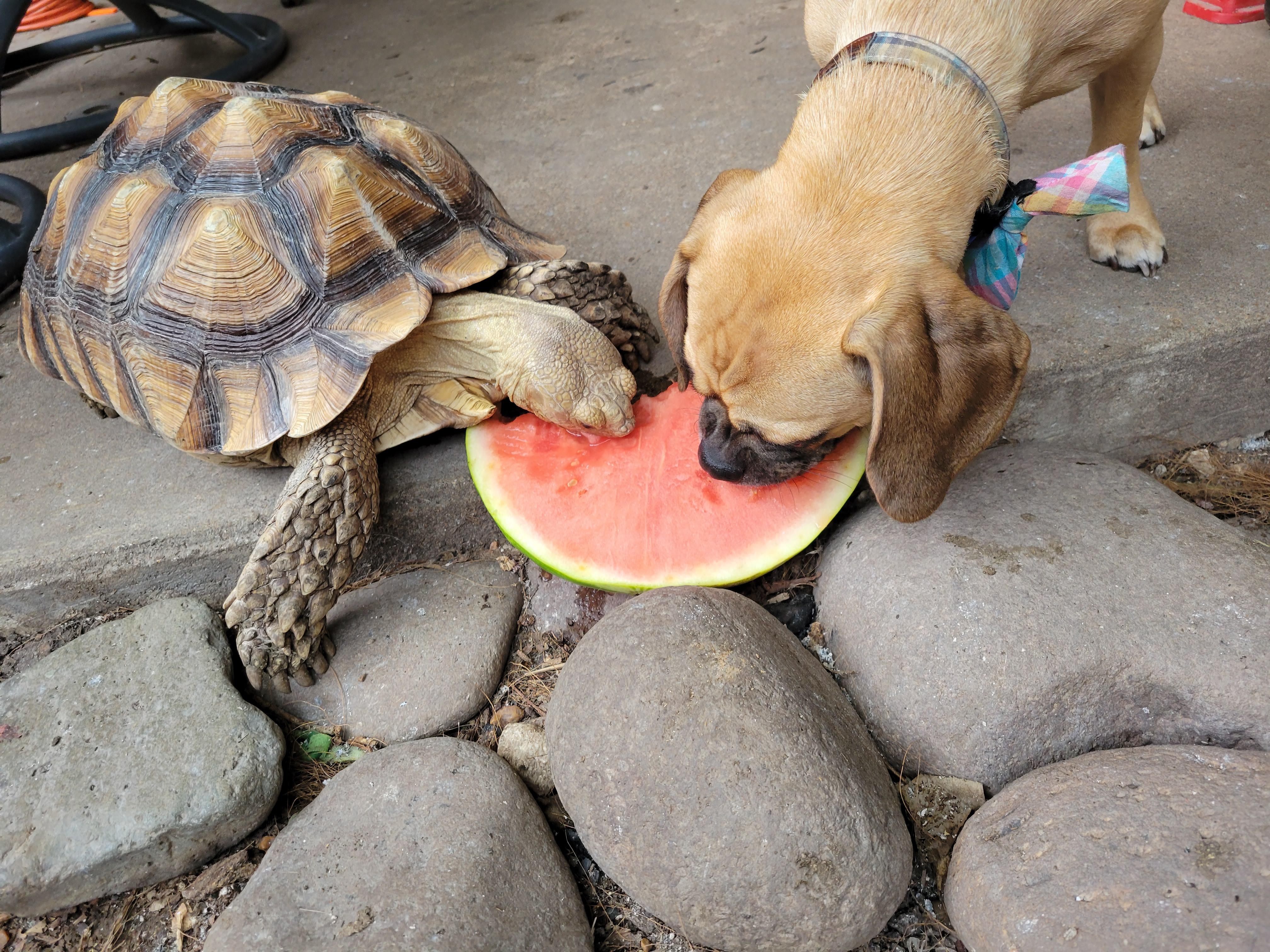 Bongo and Rooster sharing some watermelon