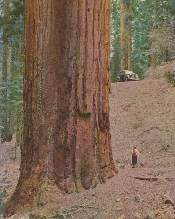 This is how big a redwood is