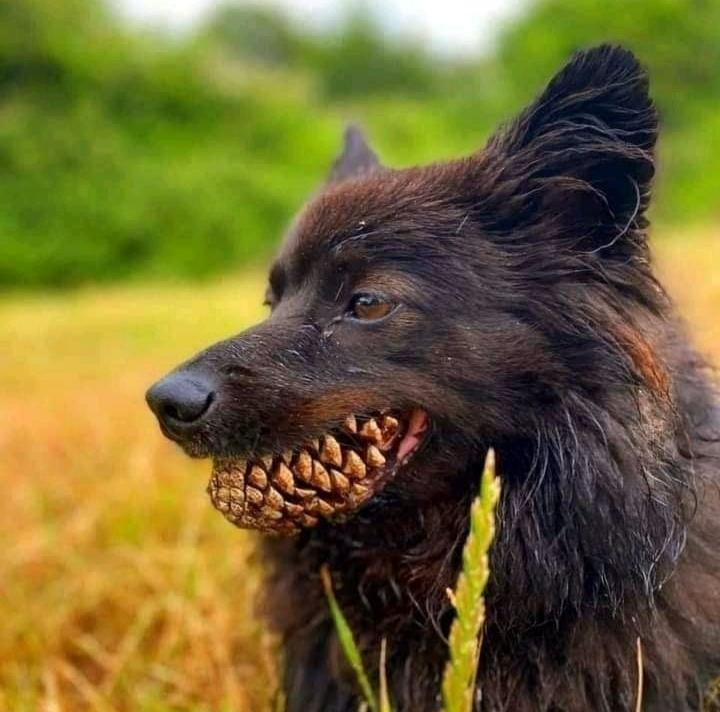Dog with a pinecone in its mouth