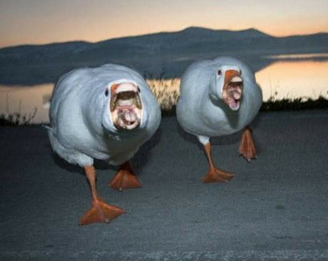 Angry Geese 😱